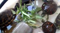 火焰龟吃空心菜视频