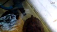 已养熟的一对菲律宾池龟