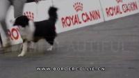 【中国边牧俱乐部】全面介绍边境牧羊犬-我是边牧!