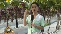 7.15 葡萄成熟时 巨玫瑰