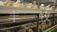 养鸡设备 肉鸡笼养  肉鸡自动化设备  层叠式肉鸡视频