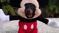腊肠犬cos米奇Dog Dressed as Mickey Mouse!