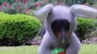 腊肠犬cos复活节兔子Easter Bunny Wiener Dog!