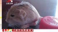 观鸟者偶遇世界最小跳鼠 体重相当于一元硬币 晨光新视界 150727