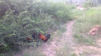 斗鸡:土公鸡打斗绿冠红VS绿紫衣1