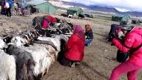 骑行新藏线,佩枯措边牧民挤羊奶。