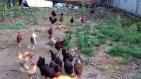 老母亲正给鸡群饲喂南瓜丝,有要的可联系18072738173富阳城区可送货上门