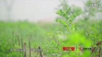 食物背后的故事-沙漠里种出来的好汉枣