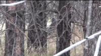 一段来自国外野人的视频 野人悄悄地藏在人后面