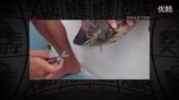 看着好心疼 海龟鼻中被拔出12厘米塑料吸管