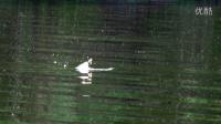 路亚钓鱼的鸭子假饵居然引来了鳄鱼