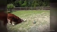 【正能量侠】牛是人类的第二个母亲……请不要吃它们.