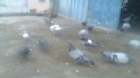东莞信鸽种鸽