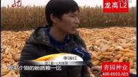 2015年龙高L2高产玉米种子