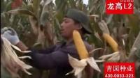 2015龙高L2玉米种子高产抗倒伏