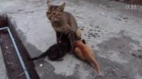 《母猫在喂小猫猫吃奶》可爱 有趣 搞笑-珍彩dj拍摄