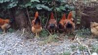 稀奇罕见了你们有见过《可爱 有趣 搞笑的鸡鸡们在吃叶子吗?》