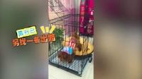 【火龙果的日常】小家伙第一次进笼子,简直蠢哭了!