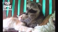 [K分享] 小浣熊把喵星人当成好吃的了