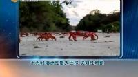 【奇闻趣事】澳洲红蟹大迁移 成千万只犹如铺的红地毯