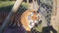 恐怖的老虎咆哮
