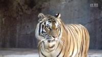 虎咆哮 大猫的声音
