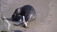 婴儿斑海豹出生