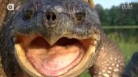 大鳄龟VS拟鳄龟