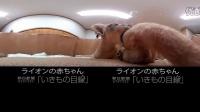【爱玩VR】全景萌宠 狮子宝宝