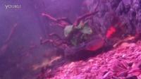 红腹水虎鱼,居然是食人鱼中的战斗机?