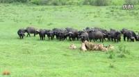 非洲草原罕见一幕----一群野牛PK群狮