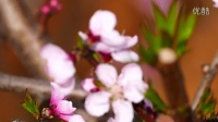 中国攀枝花乌拉桃花节