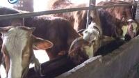 贵州桐梓:农民陈世刚骑在牛背上的致富人