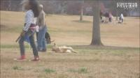 大金毛没玩够不想回家,躺在公园和主人玩装死,从未见过如此厚颜无耻之汪