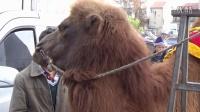宝宝初看世界 看骆驼 听儿歌《小骆驼》台湾童谣 MV