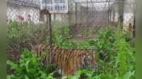 广西一动物园老虎被活活饿死制壮阳酒