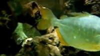 APygopristis denticulata (Piranha)