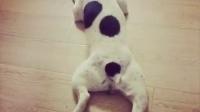 #宠物#腊肠狗➕板鸭,花牛中的大长腿#北...|狗狗欧弟和它的故事