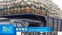 广东湛江菠萝每斤一毛二都没人要