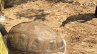 广州长隆鳄鱼公园的亚达伯拉象龟跟苏卡达陆龟