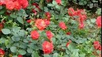 花圃月季--1 20160506