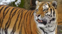 德国虎王!最大西伯利亚虎,在莱比锡动物园(猫科爱好者来鉴赏下) @狮子 老虎