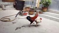 斗鸡:白卢vs追风