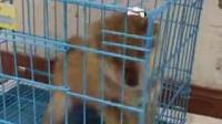 卢湾区哪里出售柴犬宠物店在哪?