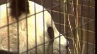 【记忆】伦敦动物园的大熊猫Ching Ching(Jing Jing?)