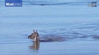 国外网友正在艇上游玩,碰巧遇到小鹿过河,拍下小鹿如何成功逃脱鳄鱼追捕,我只想说小鹿太淡定了吧!