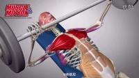 体肤尼-胸大肌在训练动作中的运动