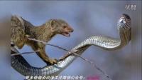 猫鼬大战剧毒非洲树蛇 过程激烈十分罕见