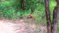 驚險畫面!印度母老虎叢林中咬死豹子