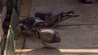 350 Grandad's Pigeons